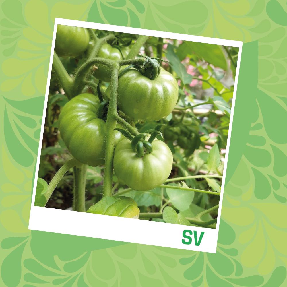 Foto de una planta con tomates